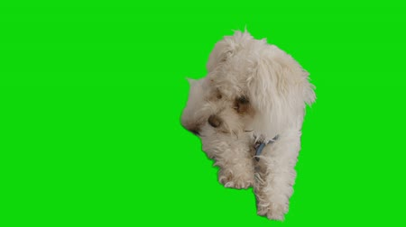 chroma key background : White cute dog looks around and jumps out of the frame.