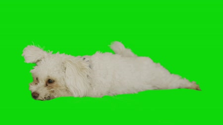 chroma key background : Side shot of a white little dog resting on green screen Stock Footage