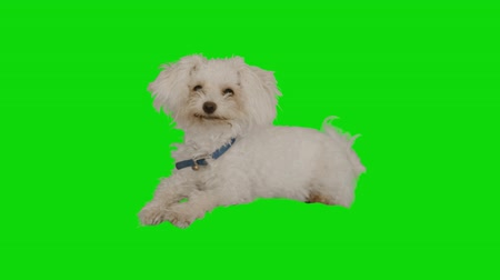 зеленый фон : Front shot of a white little dog resting on green screen Стоковые видеозаписи