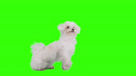 щенок : Dog waves her paw on green screen.