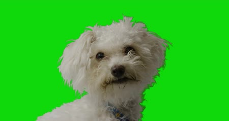 üzgün : White puppy looking to the camera close up on green screen