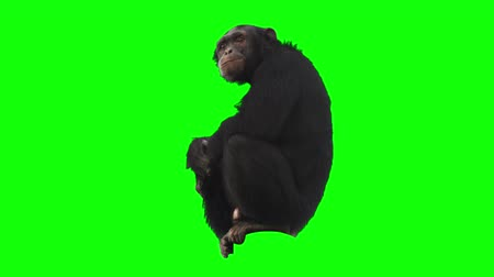majom : Monkey on Green Screen Stock mozgókép