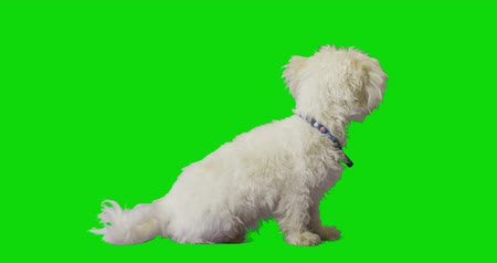chroma key background : White cute dog turns his back and looks away on green screen