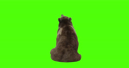 miś : Bear sitting and looking up on green screen. Wideo