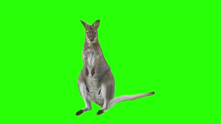 memeli : Kangaroo in front of green screen leaves scene.