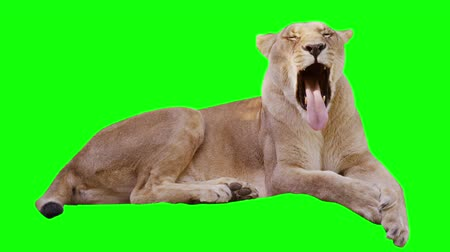 зеленый фон : Sleepy lioness yawns on green screen