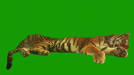 cabeça : Tired tiger lying on green screen.