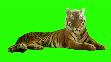 memeli : Tired tiger lying on green screen.