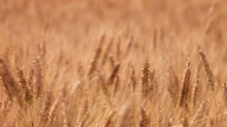 Wheat Field Caressed by Wind Crane Shot Nature Background Health Concept HD Stock mozgókép