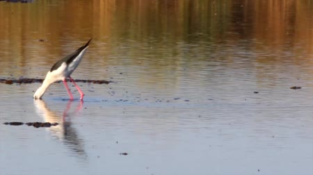 alado : Black-winged Stilt, Common Stilt, or Pied Stilt (Himantopus himantopus) in Ria Formosa Marsh Conservatiom Park (Portugal). A widely distributed very long-legged wader in the avocet and stilt family Recurvirostridae. Vídeos