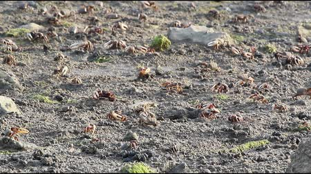 оборонительный : Uca tangeri. A species of fiddler crab that lives in the eastern Atlantic Ocean. (Footage taken in Ria Formosa, conservation wetlands)