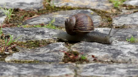 měkkýš : Active garden snail crawling (Species: Helix aspersa or Cornu aspersum). Garden snail is a herbivore animal and has a wide range of host plants. The species is known as an agricultural and garden pest, and also edible delicacy Dostupné videozáznamy