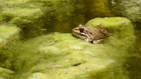 anura : Common frog, sitting in garden pond edge and jumping at the clip end
