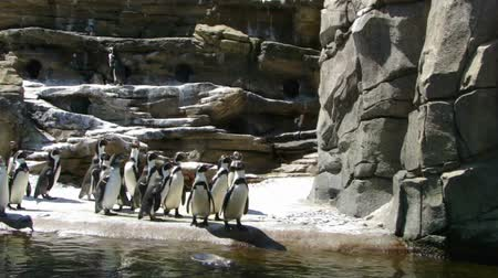 pinguim : Humboldt penguins standing as a group ,Pacific Northwest