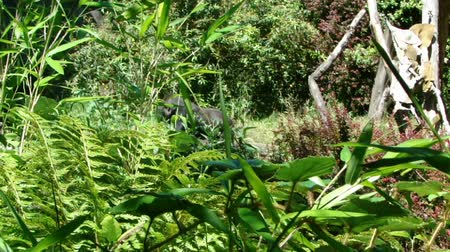 primaz : Gorilla camouflaged by ferns and bushes