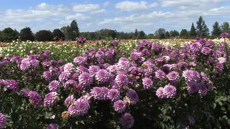michaelmas daisy : lilac asters in field