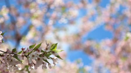 yoshino river : slide to low hanging blossom branch Stock Footage
