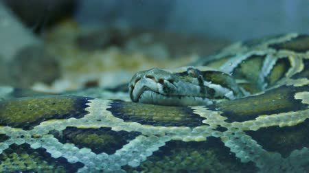 quad hd : Indian Python Snake. A great piece of stock in 4k definition, perfect for film, tv, documentaries, reality TV, trailers, infomercials and more! Stock Footage