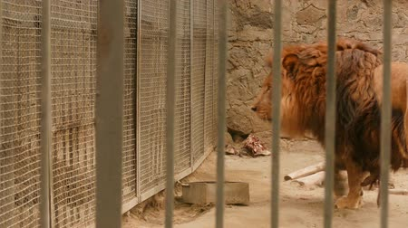 quad hd : Lion Walking around in a Zoo Enclosure. A great piece of stock in 4k definition, perfect for film, tv, documentaries, reality TV, trailers, infomercials and more!
