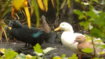 campbell : Ducks together preening, framed with soft focus foliage. Stock Footage