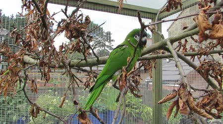 poleiro : Happy green parrot outside in an aviary. Perched on a apple tree branch with dried brown leaves. Tame Mini macaw (Diopsittaca nobilis) turns on the branch.