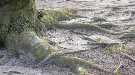 faia : Pan Shot: Close-up of Roots And Trunk of An Old Beech Tree