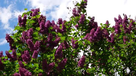 pan shot : Common Lilac, Syringa Vulgaris, Against A Blue Cloudy Sky, Pan Shot Stock Footage