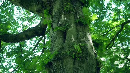 castanha : Close-up of The Trunk of A Horse-Chestnut Tree, Aesculus hippocastanum, Leaves Moving In The Wind Stock Footage