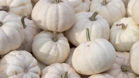 тыква : Harvest: Heap of Baby Boo Squash, Cucurbita pepo L., Zoom Out Стоковые видеозаписи