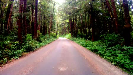 garfos : Gravel Road Through Dense Forest Cedar Fir Trees