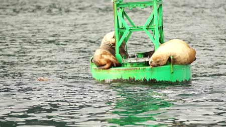 yüzgeç : Sea Lions Slumber Ocean Buoy Reserrection Bay Sea Wildlife Stok Video