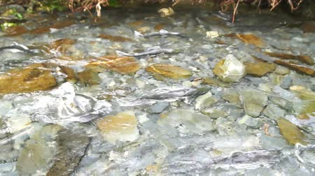 inferior : Spawning Fish Wild Salmon Swim Stream River Mating Swimming Vídeos