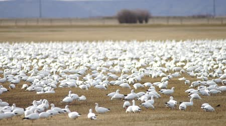 göç : Snow Geese Flock Together Spring Migration Wild Birds