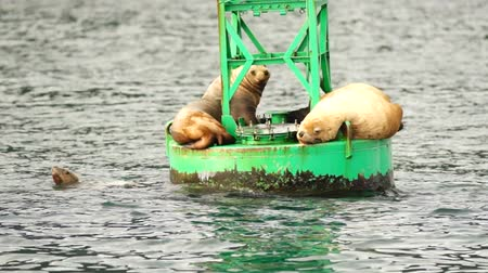 yüzgeç : Sea Lions Slumber Ocean Buoy Resurrection Bay Sea Wildlife Stok Video