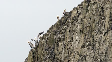 barışçı : Wild Animal Bird Pelicans Braving Strong Winds Sheer Cliff Bluff Stok Video