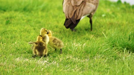 nyáj : Baby Geese Peck Young Animal Waterfowl Birds Fighting Playing