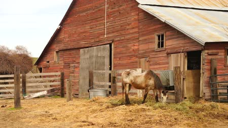 padok : Old Farm Livestock Grazes in Front of Horse Barn