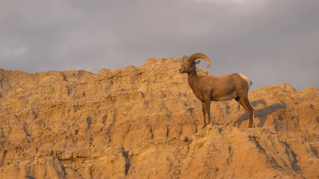 západ : Wild Animal High Desert Bighorn Sheep Male Ram High Ridge