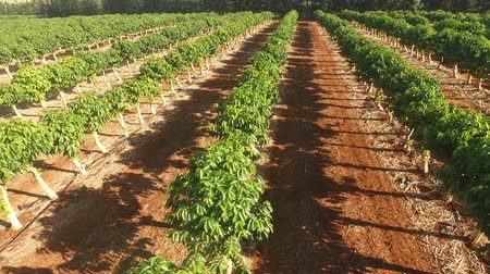 grãos de café : Farm Agriculture Coffee Plants Industrial Food Growth