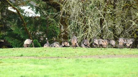 tyúk : Group Flock of Big Game Birds Animal Wildlife Turkey