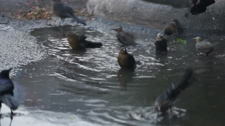 ave canora : Local Animal Wildlife Birds Bath in Parking Lot Water Puddles