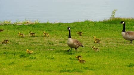 baby chicken : Wild Animal Goose Geese Family Walk Newborn Chicks Columbia River Stock Footage