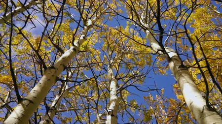 Looking up in the middle of the forest fall color in the leaves Stok Video