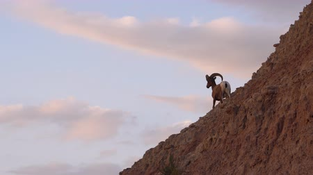 hoorn : Wild Animal High Desert Bighorn Sheep Man Ram High Ridge