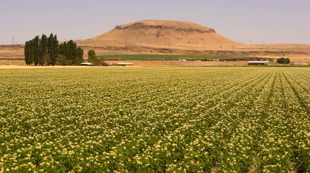 A Desert Mountain Potato Farm Crop Blows in the Wind