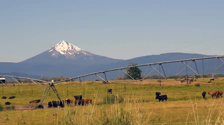cow farm : Ranch Livestock Graze and Fornicate with Diamond Peak Mountain in Background