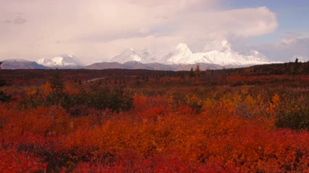 Extreme Vivid Autumn Leaves in Forest Near Mt Mckinley