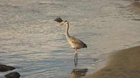 brodění : A Big Blue Heron Bird Hunts the Riverbank for Fish and Food