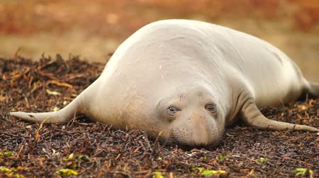 agresif : Large Elephant Seal Female Rests on the Beach During Mating Season