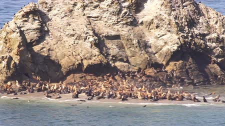 Hundreds of Seals and Sea Lions Converge on the Same Isolated Sandy Beach Stok Video